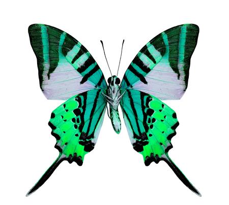 mariposa verde: Mariposa de color verde de lujo aislado en el fondo blanco