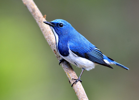 ultramarine: Lovely litle blue bird, Ultramarine flycatcher perching on the branch with nice green blur background Stock Photo