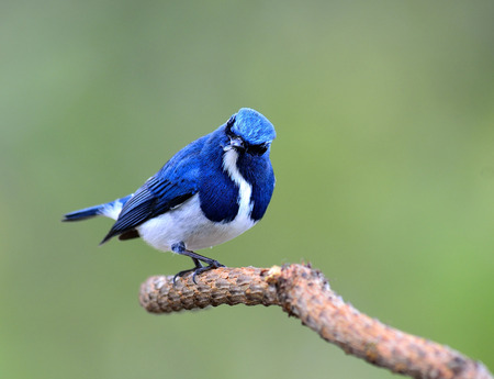 ultramarine blue: Lovely Ultramarine flycatcher, beautiful blue bird, posing on the branch with nice green background Stock Photo