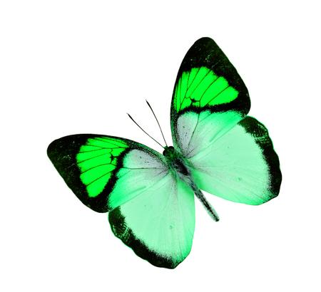 mariposa verde: Niza verde de la mariposa del vuelo aislado en el fondo blanco Foto de archivo