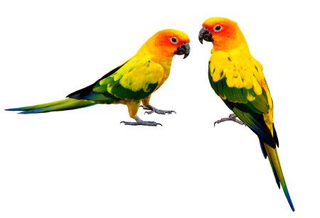 Par de Colorful Sun Conure, hermosas aves loro amarillo aislados en fondo blanco Foto de archivo