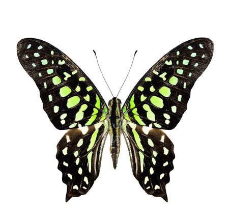 Tailed Jay Butterfly upper wing profile in natural color isolated on white background photo