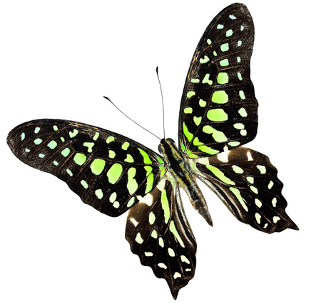 Tailed Jay, Green spot Butterfly upper wing profile in natural color photo