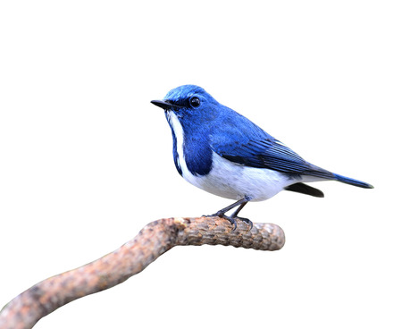 ultramarine: Ultramarine flycatcher, beautiful blue bird, posing on the branch with nice green background