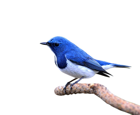 ultramarine blue: Ultramarine flycatcher, Little cute and beautiful blue bird, posing on the branch isolated on white background Stock Photo