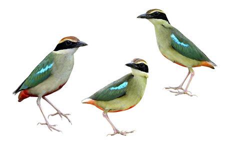 prin: Un hermoso conjunto de pie Pitta de hadas en el fondo aislado blanco, pájaro de Tailandia y Asia