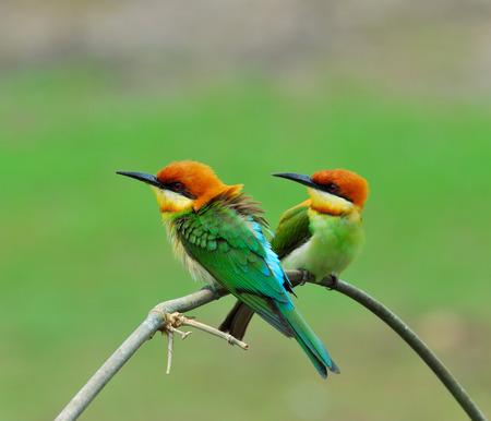 prin: Un dulce encantadora pareja de Casta�a-dirigido abejaruco, naranja con cabeza de abejaruco, Merops leschenaulti, p�jaro, una dulce pareja de abejarucos Foto de archivo