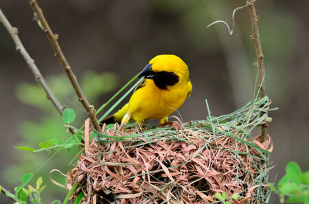 An Asian Golden Weaver is buidling its nest photo