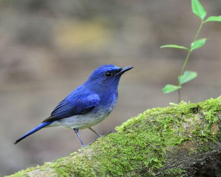 Beautiful blue bird, hainan blue flycatcher bird standing on the mossy floor photo