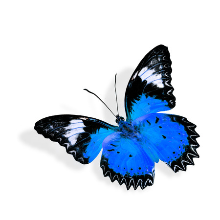 biblis: Beautiful blue butterfly flying