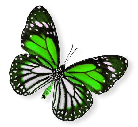 mariposa verde: Hermosa mariposa verde (Tigre blanco) Foto de archivo