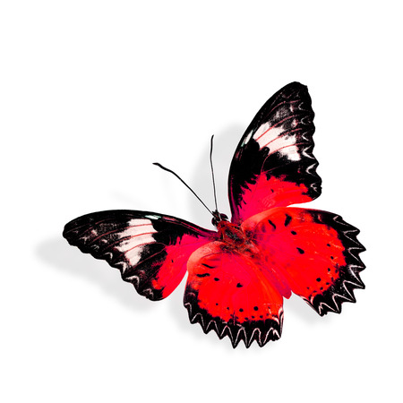 biblis: Beautiful red butterfly flying
