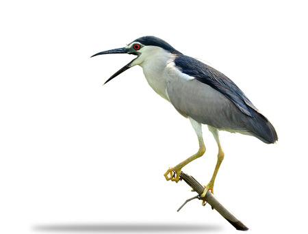 prin: Negro-coronada garza de noche en fondo blanco aislado, nycticorax, pájaro