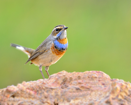 bird nightingale: Bluethroat, beautiful blue bird with colorful on its neck standing on the rock