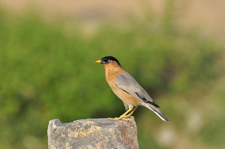An another great pose of Brahminy Starling on the rock photo
