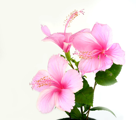 Bunch of beautiful of Pink Hibiscus flower isolated on white background