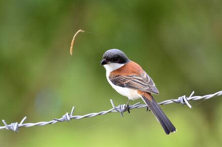 prin: Alcaudón birmano, collurioides Lanius, posarse en cables desgarrado, pájaro, mejores fotos de alcaudón,