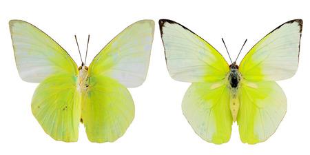 白い背景で隔離のプロファイル、黄色い蝶、上限と下限キャベツ蝶の羽します。