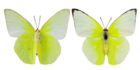 Cabbage Butterfly, Yellow butterfly, both upper and lower wings profile isolated on white background