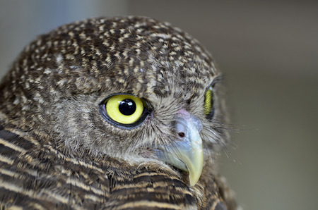 occhi grandi: Primo piano Big Eyes di asiatici Barred civetta, cuculoides Glaucidium