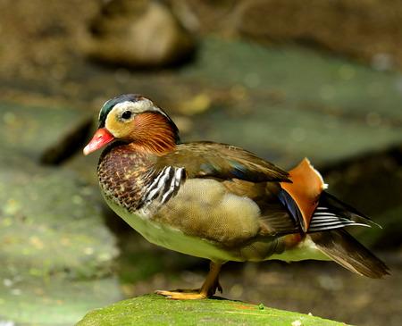 aix galericulata: Colorful of male Mandarin Duck (Aix galericulata)