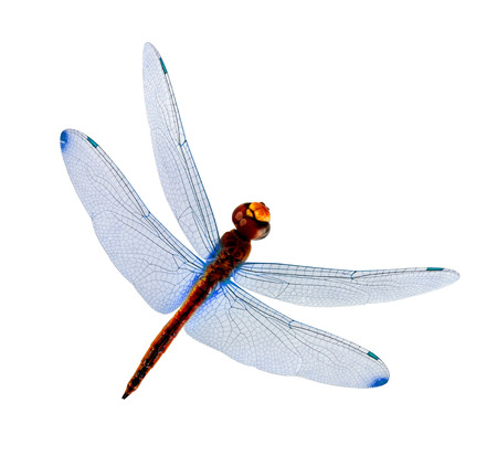 Dragonfly with blue wings isolated on white background Standard-Bild