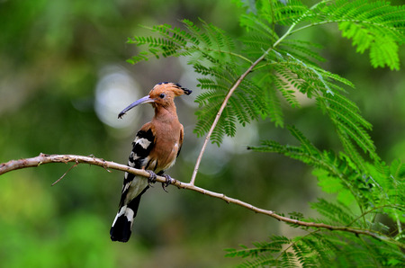 Eurasian Hoopoe or Common Hoopoe, Upupa epops, on the nice brance with insect in mouth about to feed chickens in their nest photo