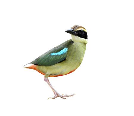 prin: Pitta de hadas sobre fondo blanco aisladas con bonitos detalles, ave de Tailandia y de Asia