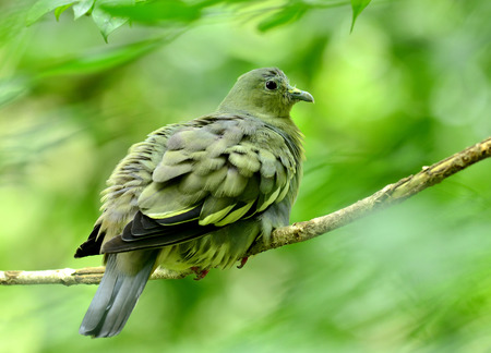 prin: Mujer de paloma verde-Rosa cuello, vernans Treron, con plumas hinchado, p�jaro Foto de archivo