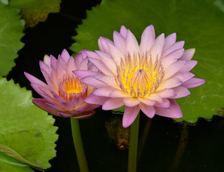 Fine Pink Twin Lotus flowers with green leafs around photo