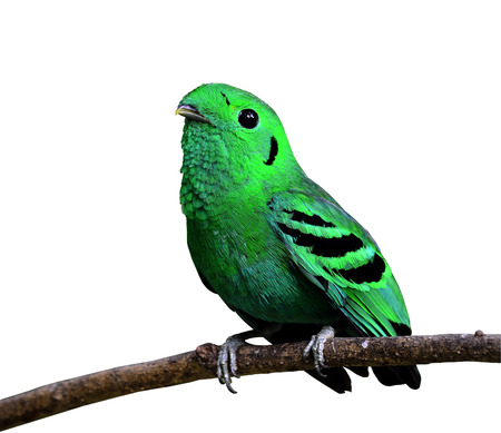 prin: Verde Broadbill, ave de color verde intenso, calptomena viridis, pájaro