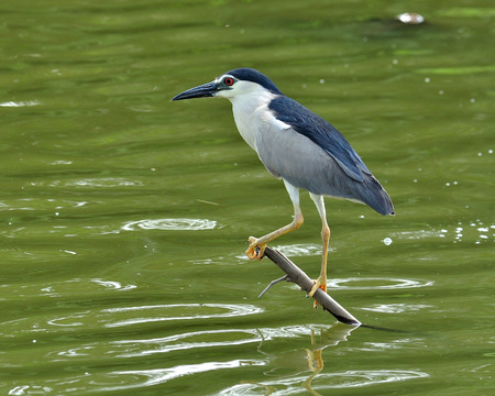 Black-crowned Night Heron perching on low stick fishing for fish in the pond, nycticorax nycticorax, bird photo