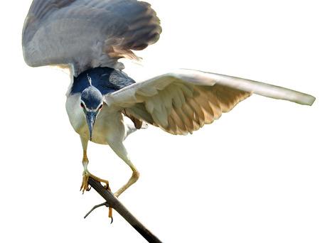 prin: Negro coronado Night Heron en movimiento en la rama mostrando todas las plumas, nycticorax
