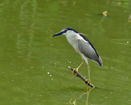 Black-crowned Night Heron perching on low stick fishing for fish in the pond, nycticorax, bird photo