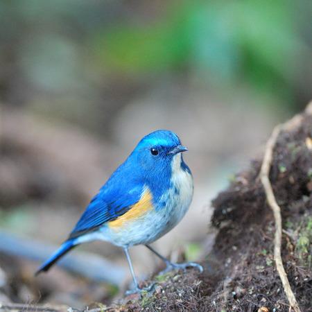 single songs: Blue bird with Male of Himalayan Bluetail (Tarsiger rufilatus) or Orange-flanked Bush robin