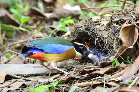 shit: A Blue-winged Pitta taking its chickens shit out of the nest Stock Photo