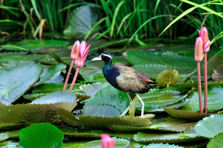 jacana: A beautiful Bronzed-winged Jacana standing on lotus leave with lotus flower