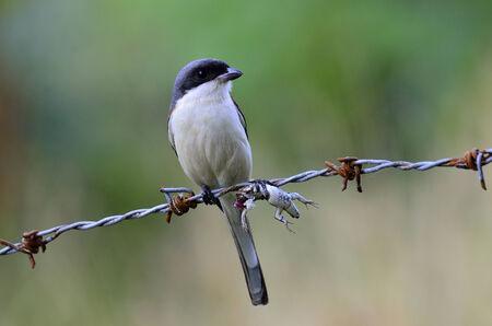 prin: Alcaudón birmano, collurioides Lanius, mejor tiro de lagarto sin cabeza en su buche como su presa, pájaro
