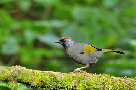 laughingthrush: A Chestnut-crowned Laughingthrush on the nice mossy branch with worm meal