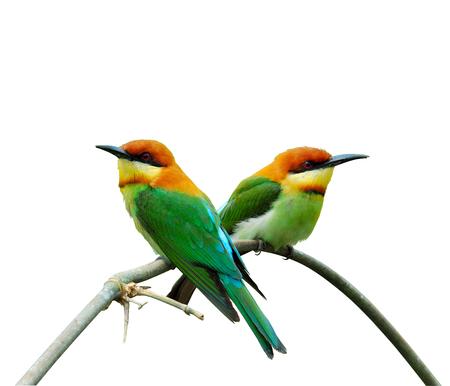 prin: Casta�a-dirigido abejaruco, naranja con cabeza Abejaruco, merops leschenaulti, p�jaro, una dulce pareja de abejarucos, aislado en fondo blanco Foto de archivo