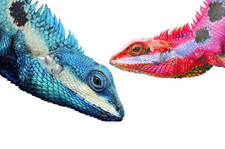 prin: Transparencia colorido de lagarto azul a rojo (Lacerta viridis) Foto de archivo