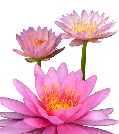 Compilation of three beautiful pink lotus flower or waterlily on white background photo