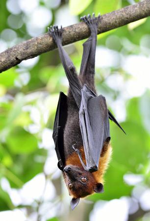 pteropus: Eyes of Hanging Lyles flying fox on the tree branch, Pteropus lylei