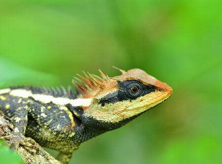 prin: Mayor lagarto espinoso, negro con cara de lagarto, lagartija espinosa enmascarado, lagarto �rbol, Acanthosaura Boulenger crucigera, con el rojo en su cara