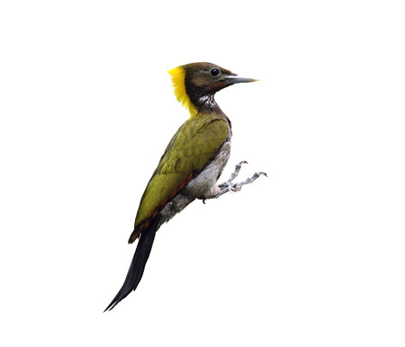 Greater Yellownape or yellow-naped woodpecker, picus flavinucha, woodpecker isolated on white background