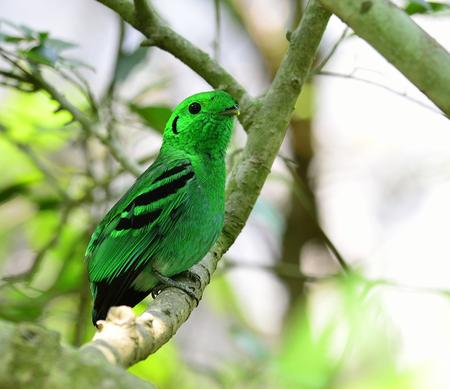 prin: Verde Broadbill, ave de color verde intenso parece como hojas, calptomena viridis, ave de Tailandia y de Asia