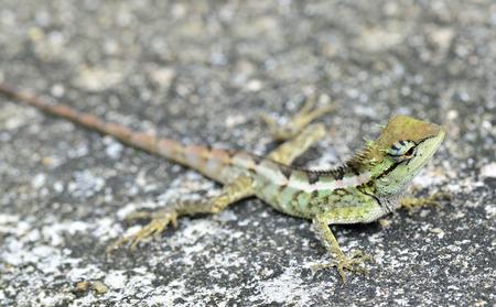 prin: Lagarto con cresta verde, Boulenger largo Lagarto dirigido, Pseudocalotes microlepis de longitud completa en el suelo