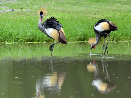 Grey Crowned Crane, Balearica Regulorum, standing in the water together photo