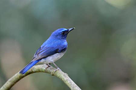 A Hainan Blue Flycatcher on a branch photo
