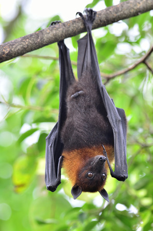 Hanging flying fox is awaken with open eys while hangs on tree branch with head up side down photo